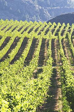 Grape Vineyard, Okanogan, British Columbia, Canada