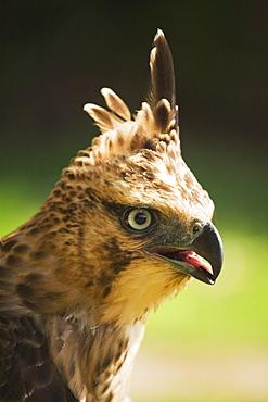 Steppe Eagle (Aquila Nipalensis), Pokhara, Nepal