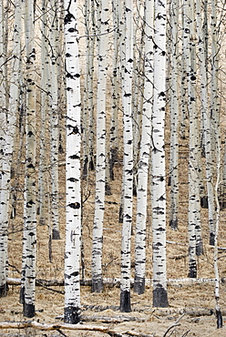 Alberta, Canada, White Aspens In A Forest