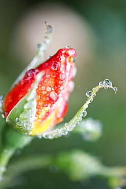 Water Drops On A Closed Tulip