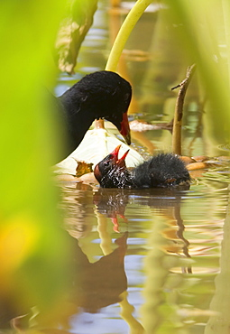 Hawaii, United States Of America, Hawaiian Common Gallinule (Gallinula Chloropus Sandvicensis) Feeding It's Chick