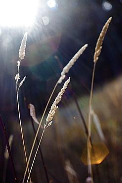 Spruce Grove, Alberta, Canada, Wheat Grass In The Sunlight