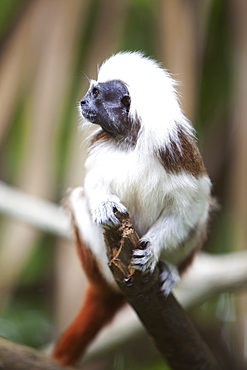 A Cotton-Top Tamarin Monkey (Saguinus Oedipus) At The Singapore Zoo, Singapore