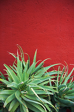 Cactus against a red wall, San miguel de allende guanajuato mexico