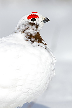 Close-Up Of Male Willow Ptarmigan Changing From Winter To Breeding Plumage Near Savage River, Denali National Park & Preserve, Interior Alaska, Spring
