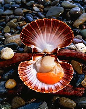 Scallop Shellfish