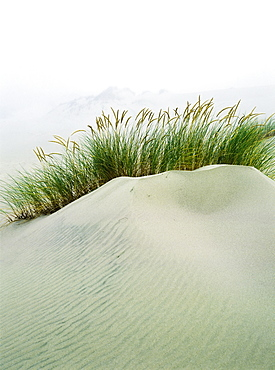 Grass On The Sand Dunes With Fog Reducing Visibility In The Distance, Reedsport, Oregon, United States Of America