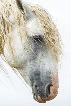 Portrait Of A White Wild Horse In Theodore Roosevelt National Park, North Dakota, United States Of America