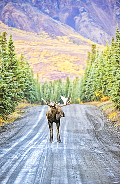 A Bull Moose Stands In The Middle Of Denali Park Road, In Denali National Park And Preserve, With The Mountains In The Background In Autumn, Alaska, United States Of America