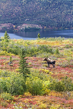 View Of A Cow Moose (Alces Alces) Near Wonder Lake In Colourful Fall Foliage, Denali National Park, Alaska, United States Of America