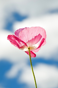 A Pink Poppy Reaches For The Clouds, Astoria, Oregon, United States Of America