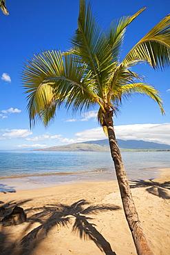 Palm Tree With West Maui Mountains In Distance, Kihei, Maui, Hawaii, United States Of America