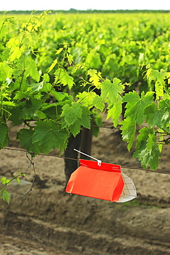 Agriculture - An insect trap placed in a Thompson Seedless grape vineyard in Spring. Its function is an early-warning system to detect adult insect emergence and flight of certain moths including the European Grapevine Moth (Lobesia botrana) and the Omniv