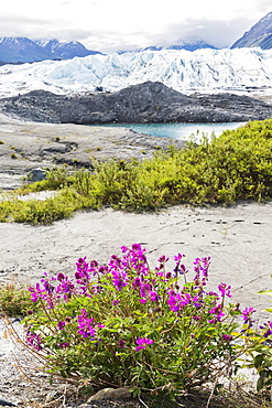 View Of The Face Of Matanuska Glacier With Dwarf Fireweed (Chamerion Latifolium) And Rocks In The Foreground, Alaska, United States Of America