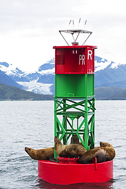 Steller Sea Lions (Eumetopias Jubatus) Resting On A Channel Marker In Lynn Canal, Southeast Alaska, Alaska, United States Of America