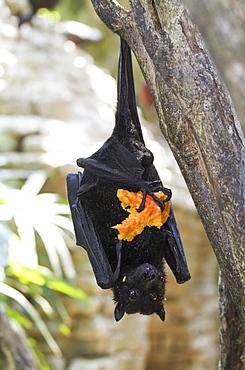 Megabat Or Fruit Bat Holding A Fruit In Bali Bird Park, Batubulan, Bali, Indonesia