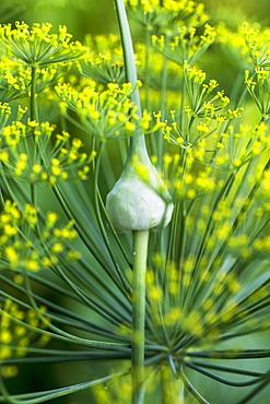 Garlic Flowerbuds Or Scapes, Toronto, Ontario, Canada