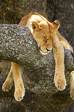 Lioness Sleeping In A Tree At The Serengeti Plains, Tanzania