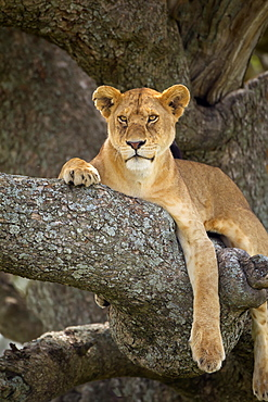 Lioness Resting In A Tree At The Serengeti Plains, Tanzania