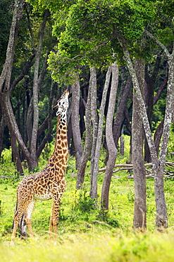 Giraffe Eating Tree Leaves, Located At The Serengeti Plains, Tanzania