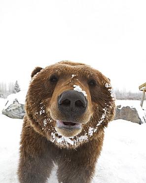 Captive At The Alaska Wildlife Conservation Center In Portage Alaska In Southcentral Alaska. Face Photo Of Mature Brown Bear. Bear.