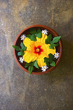 High Angle View Of A Large Yellow Flower Floating In A Bowl Of Water, Ulpotha, Embogama, Sri Lanka