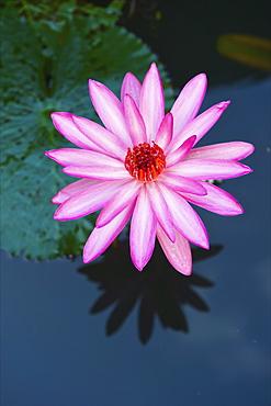 A Pink Water Lily (Nymphaeaceae), Ulpotha, Embogama, Sri Lanka