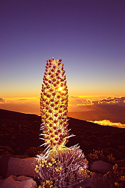 Setting Sun Shining Through A Silversword On Haleakala At Sunset, Kihei And West Maui Mountains In The Distance, Maui, Hawaii, United States Of America