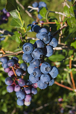 Blueberries Growing On A Tree, Dunham, Quebec, Canada