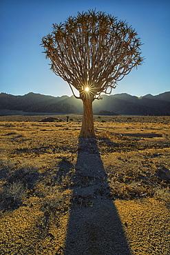 Sunburst Through A Kookerboom Tree In Richtersveld National Park, South Africa