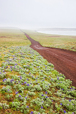 Scenic View Of A Red Dirt Road Surrounded By Tundra And Wildflowers With Foggy Hills In The Background, St. Paul Island, Southwestern Alaska, Summer