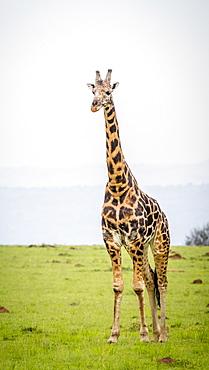 Giraffe (Giraffa Camelopardalis), Murchison Falls National Park, Uganda