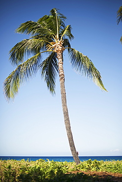 Palm Tree With Ocean On The Horizon, Island Of Hawaii, Hawaii, United States Of America