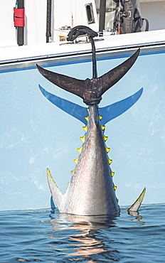 Blue Fin Tuna Hanging From The Boat Off The Coast Of Cape Cod, Massachusetts, United States Of America