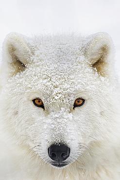 Arctic Wolf (Canis Lupus Arctos) Portrait, Montebello, Quebec, Canada