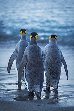 Three King Penguins (Aptenodytes Patagonicus) Are Crossing A Wet, Sandy Beach On Their Way To The Ocean, With Grey Backs And Flippers With Black And Orange Heads, Antarctica