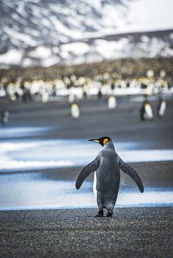 King Penguin (Aptenodytes Patagonicus) Walking On Beach Towards Rookery, Antarctica