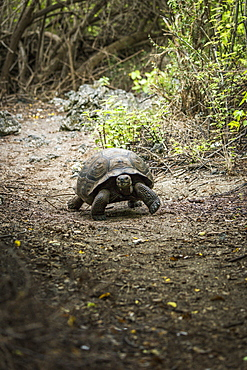 Galapagos Giant Tortoise (Chelonoidis Nigra) Walking On Gravel Path, Galapagos Islands, Ecuador