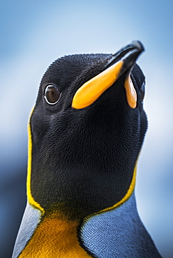 Close Up Of King Penguin (Aptenodytes Patagonicus) With Wide-Eyed Stare, Antarctic