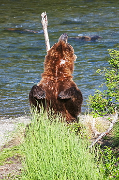 A Scarred Brown Bear Stands To Scratch His Back Along Brooks River, Katmai National Park, Southwest Alaska