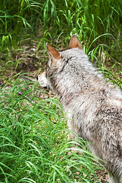 Gray Wolf Watching For Fish Scraps Leftover From Bears, Katmai National Park, Southwest Alaska