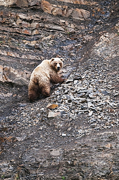 Chignik Brown Bear Climbs A Scree Slope, Southwest Alaska