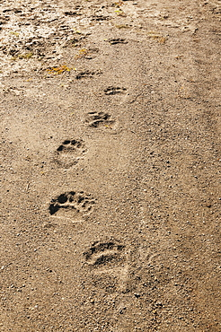 Brown Bear Tracks Amble Down An Alaskan Shoreline, Katmai National Park, Southwest Alaska