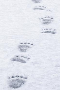 Polar Bear Paw Prints Walking Across The Ice, Churchill, Manitoba, Canada