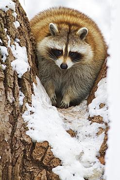 Raccoon (Procyon Lotor), Ecomuseum Zoo, Ste-Anne-De-Bellevue, Quebec, Canada