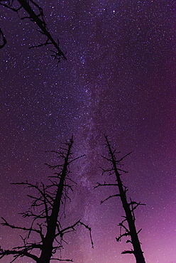 A Pair Of Dead Trees Are Silhouetted Against The Starry Backdrop Of The Milky Way Near The Turnagain Arm, Alaska.
