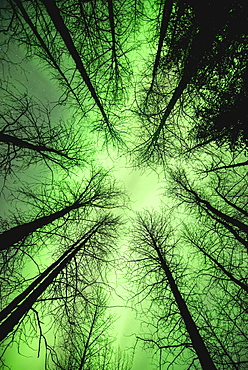 The Aurora Borealis Glows Overhead In A Spruce Forest In Portage Valley, Chugach National Forest, Southcentral Alaska.