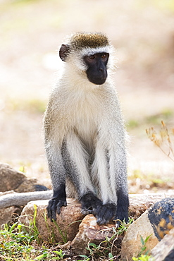 A Male Vervet Monkey Sitting On Rocks In A Dusty Patch Of Ground With A Few Tufts Of Grass On It, He Has A Black Face And Paws And Grey And Brown Fur, Nyabushozi, Western Region, Uganda