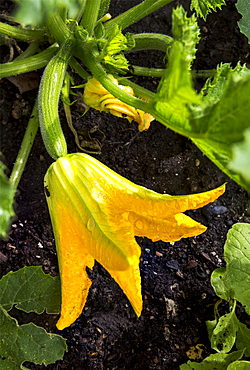 Close Up Of A Large Zucchini Blossom With A Small Zucchini On The Plant In The Soil, Calgary, Alberta, Canada