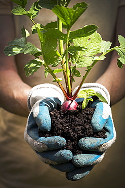 Close Up Of A Female With Garden Gloves Holding A Handful Of Dark Soil With A Radish Plant In The Soil, Calgary, Alberta, Canada